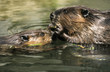 Beaver with pup, animal portrait