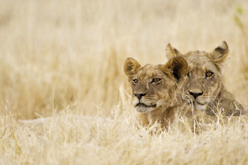 Afrika, Botswana, Löwin und Junges