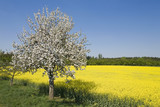Germany, Bavaria, Blossoming cherry tree and rape-seed field