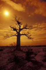 Südafrika, Musina, Limpopo, Affenbrotbaum