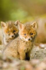 Rotfuchs Welpen im Wald