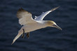 Germany, Helgoland, flying Northern gannel