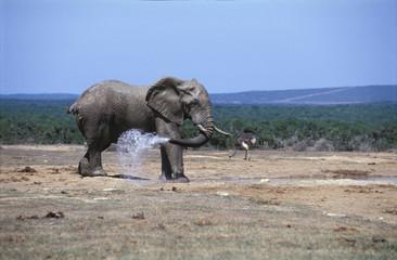Elefant und Strauß am Wasser ganze