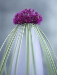Zwiebel Blume (Allium giganteum) und Gras in der Vase