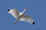 White Ibis (Eudocimus albus) flying over the Everglades poster