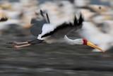 Yellow-billed Stork, Mycteria ibis poster