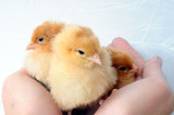 Three tiny fluffy chicken in hands poster