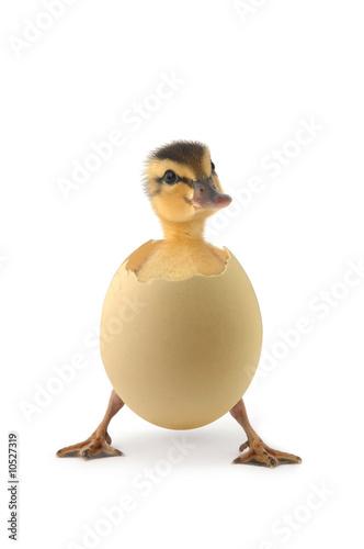 duck - 10527319