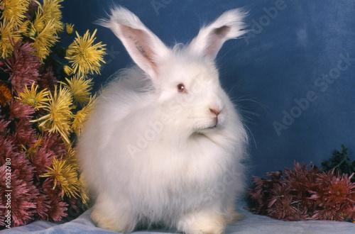 Beau lapin Angora français blanc