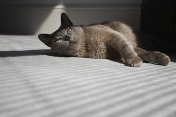 Cat Laying on Floor in Sunshine