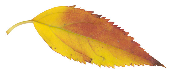 red and yellow autumn leaf isolated on white
