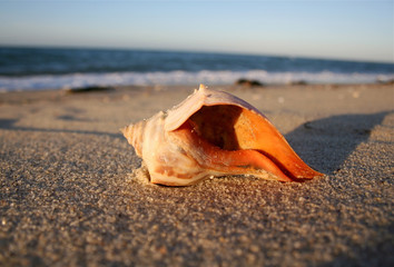 An Orange Whelk Shell Rests on the Beach at Nantucket, Cape Cod.