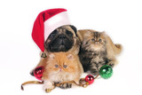 Pug dog wearing Santa hat with two little Persian kittens, poster
