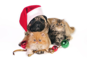 Pug dog wearing Santa hat with two little Persian kittens,