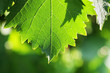 Grapevine leaf detail, macro photo. Shallow DOF.