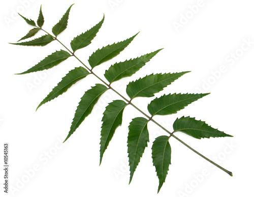 Deurstickers Lilac feuille de neem