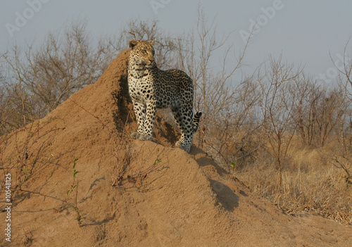 Fotobehang Luipaard Leopard standing on anthill observing the surrounding area