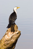 A Little Pied Cormorant perched on knarled tree stump poster