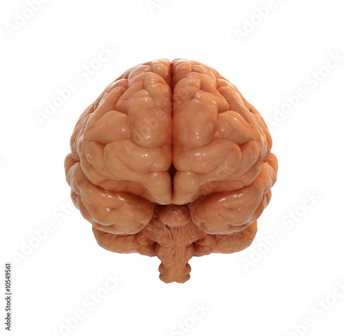 Human brain front view