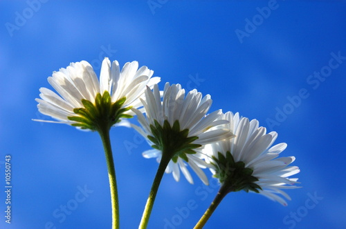 daisy from below under blue sky in summer