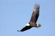 Adult Bald Eagle (haliaeetus leucocephalus) in flight against