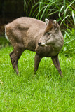 The tufted Deer lives retiring in the woods of Birma and China