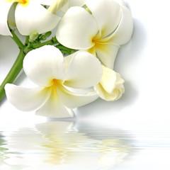 fleurs blanches de frangipanier