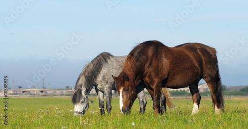 Dapple-gray mare and cheshnut mare