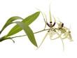 Orchidée araignée