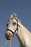 White Marwari Stallion poster