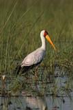 Nimmersatt (Mycteria ibis) poster