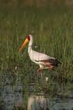 Nimmersatt (Mycteria ibis) im Okavango Delta, Botswana poster