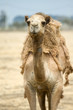 Camel on the field
