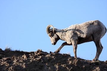 bighorn sheep digging up roots