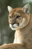 Close-up portrait of captive cougar / puma / mountain lion poster