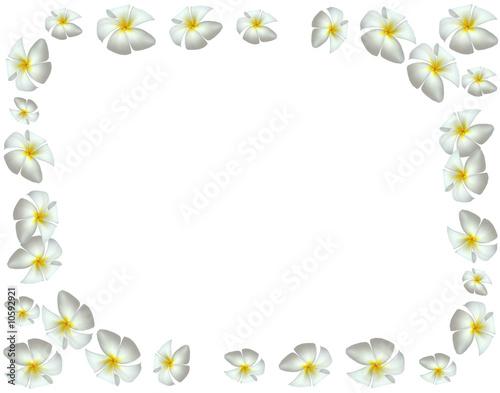 cadre avec des fleurs blanches de frangipanier photo. Black Bedroom Furniture Sets. Home Design Ideas