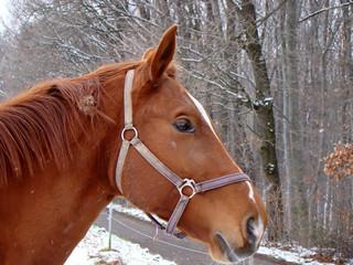 A portrait of a brown horse