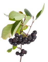 branch of black ashberries