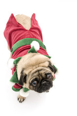 Top View of Elf Pug