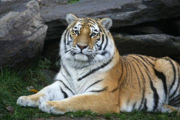 Gorgeous Tiger Staring