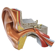 Ear Section 03