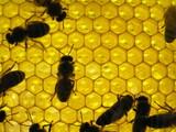 Æèçíü íàñåêîìûõ. Ï÷åëû íà ñîòàõ. Life of insects. Bee on honeyco poster