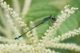 Azure damselfly with prey poster