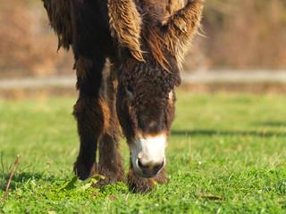 Pointon-Esel