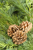 Evergreen and Pine Cones poster