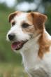 la tete du jack russel terrier vue de profil