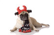 pug dog in devil costume