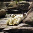 Fauler Eisbär