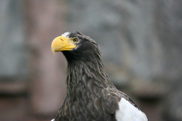 Beautiful portrait of a eagle looking right