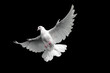 Free flying white dove. Isolated on a black background.